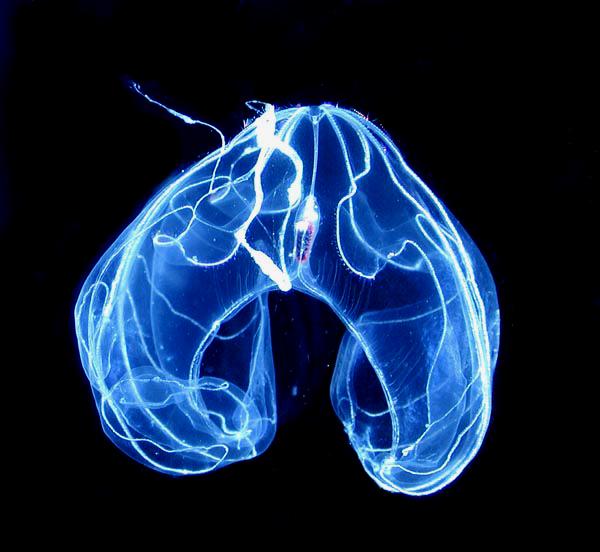 Comb Jelly - bioluminescence orlando