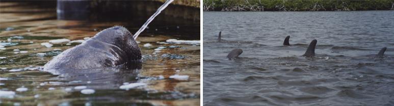 manatee_dolphin kayak experience