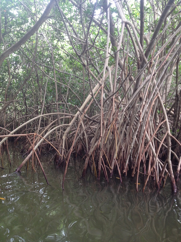 red mangrove leaves roots cocoa beach