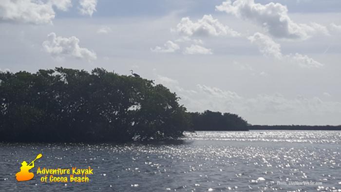 Blue Heron in Mangrove