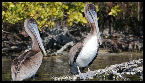 pelicans in cocoa beach's thousand islands
