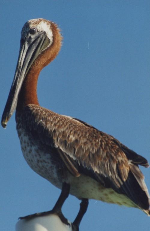 kayaktourswithcentralfloridabirdsandwildlifebrownpelicanperched