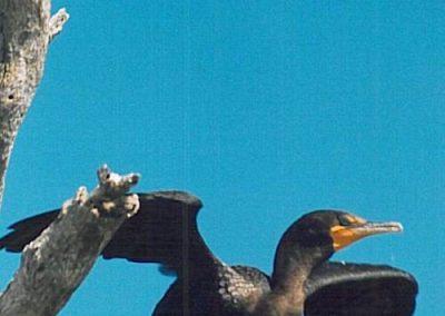 kayaktourswithcentralfloridabirdsandwildlifecormorant