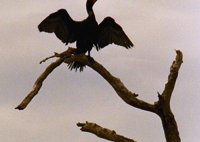 kayaktourswithcentralfloridabirdsandwildlifecormorantperched