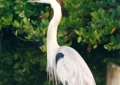 kayaktourswithcentralfloridabirdsandwildlifeegret