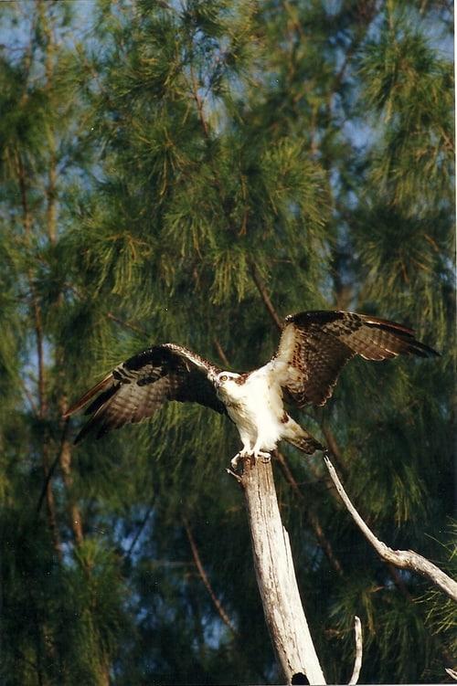 kayaktourswithcentralfloridabirdsandwildlifeopsreytakingoff