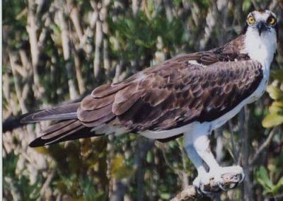 kayaktourswithcentralfloridabirdsandwildlifeospreycloseup