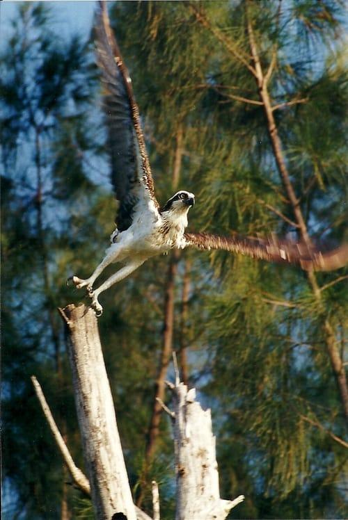 kayaktourswithcentralfloridabirdsandwildlifeospreypre-flight