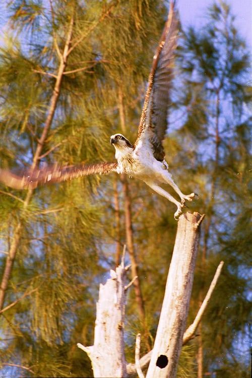 kayaktourswithcentralfloridabirdsandwildlifeospreytakingoff