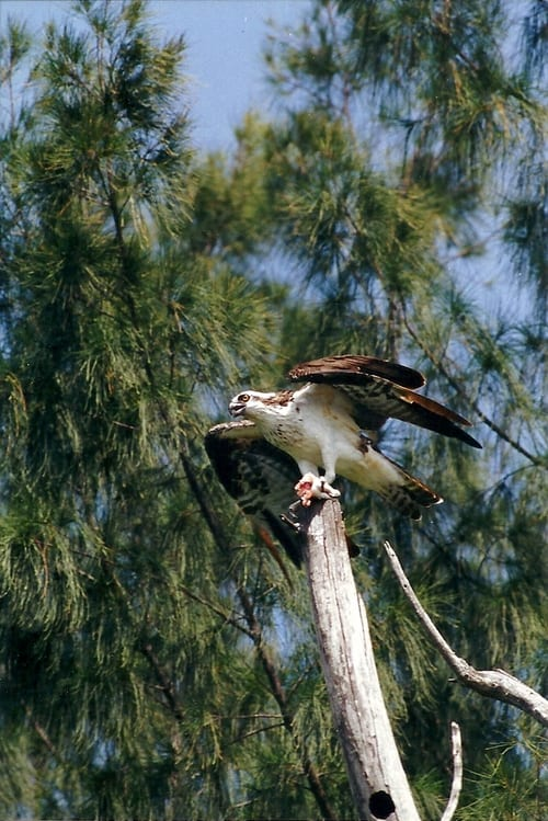 kayaktourswithcentralfloridabirdsandwildlifeospreywithfish