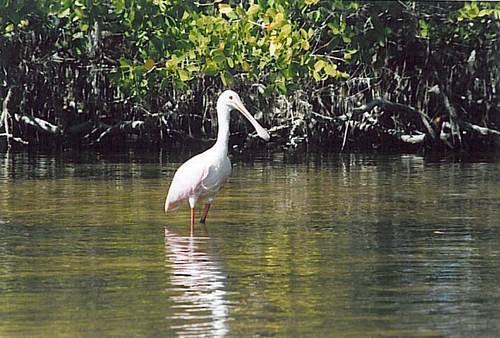 kayaktourswithcentralfloridabirdsandwildliferoseatespoonbill