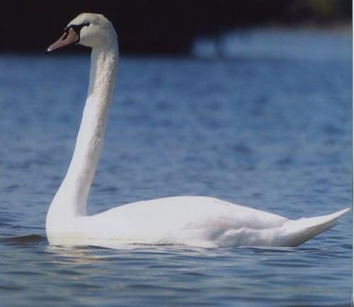 kayaktourswithcentralfloridabirdswhiteswan