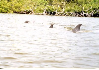 Dolphin Playing In Banana River