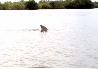 Dolphin Sighting In Banana River Near Cocoa Beach