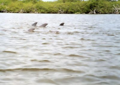 Dolphins Sighting In Banana River