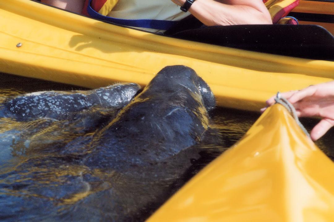 Florida Manatee Beside Kayaks