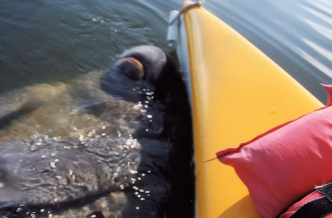 Florida Manatee Bumping Kayak