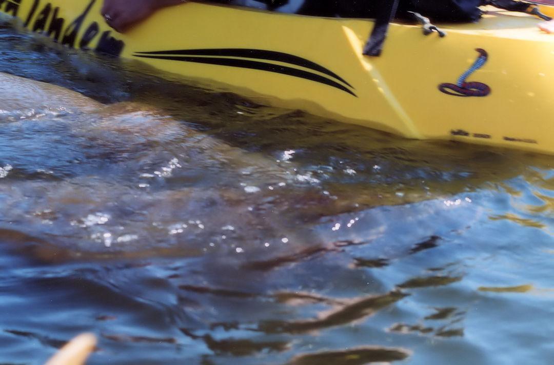 Florida Manatee Investigating Kayak