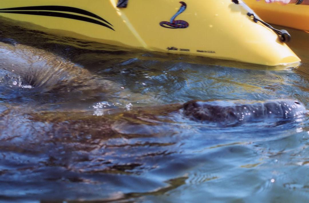 Florida Manatee On Kayak Tour