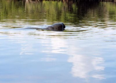 Florida Manatee Surfacing