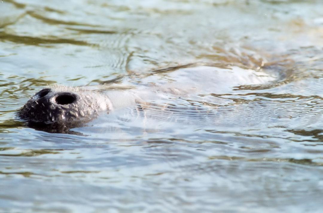 Florida Manatee Surfacing To Breath Air
