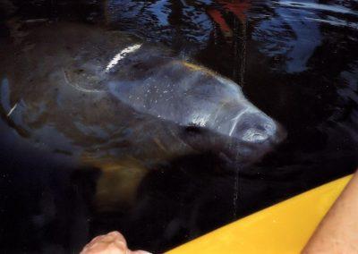Manatee Approaching Kayak