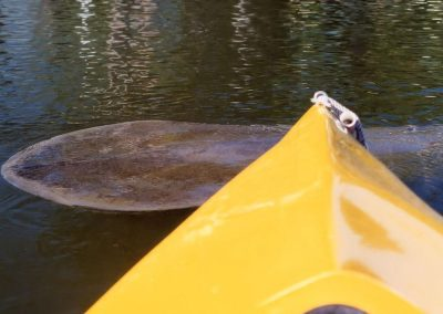 Manatee Sighting On Kayak Tour