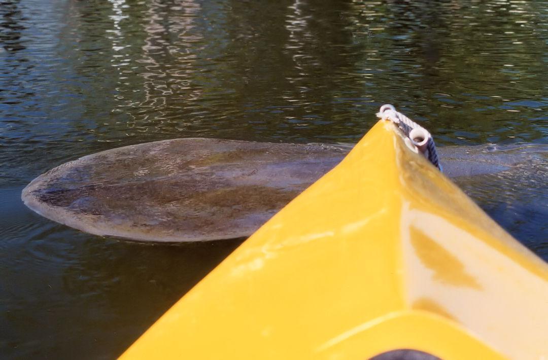 Manatee Sighting On Kayak Tour