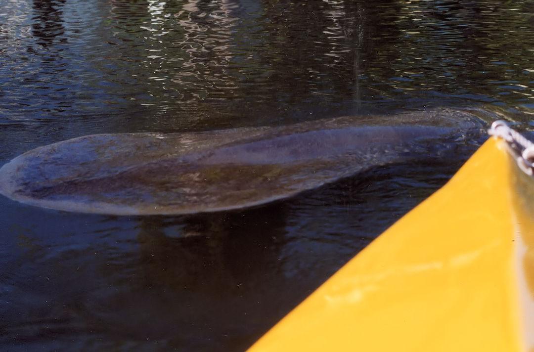 Manatee Viewing On Kayak Tour