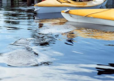 Manatees In Banana River Beside Kayak