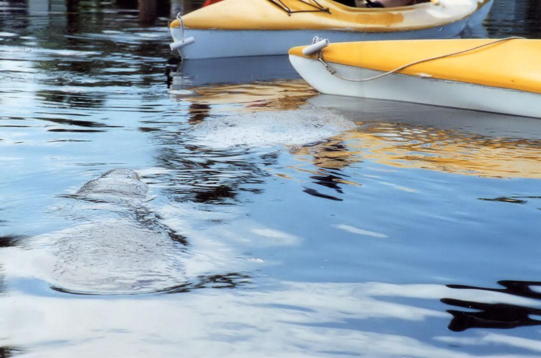 Manatees In Banana River Beside Kayak