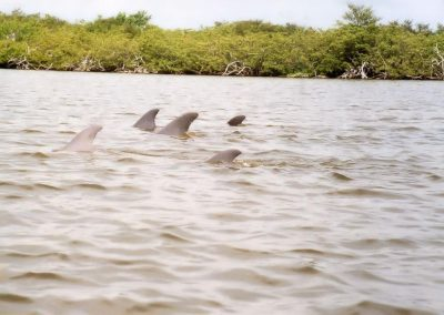 Pod Of Dolphins In Banana River