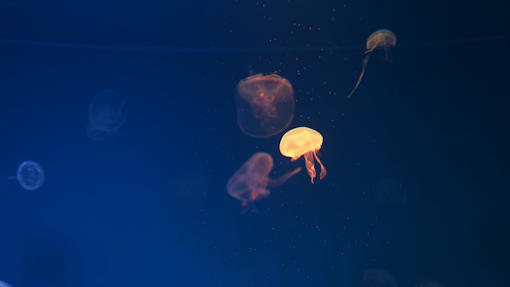 Nighttime Ctenophora Comb Jelly Kayak Tours