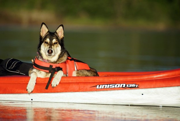 husky calmly sitting in a kayak with a lifejacket on