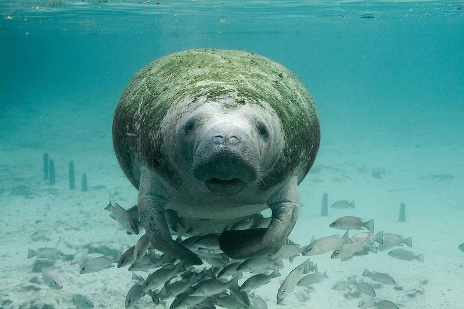 Fun Facts About Manatees
