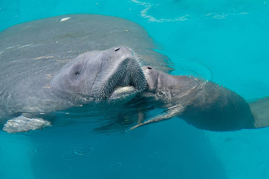 Manatee mother with her calf.